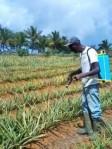 entretien d'un champ d'ananas