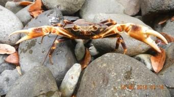 Crabe de rivière